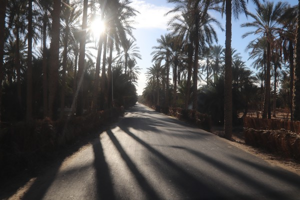 date palms tunisia